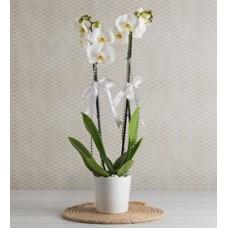 zarif çift dal orkide