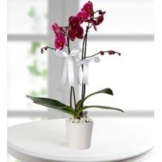 zarif çift dal renkli orkide