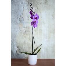 zarif renkli tekli orkide